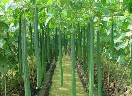 Ridge Gourd Cultivation Information Guide Asiafarming Com