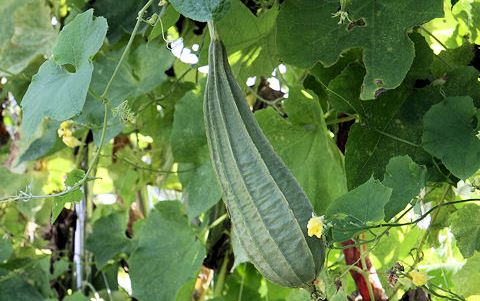 Ridge Gourd Cultivation Information Guide | Asia Farming
