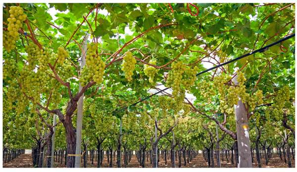 Grape Cultivation