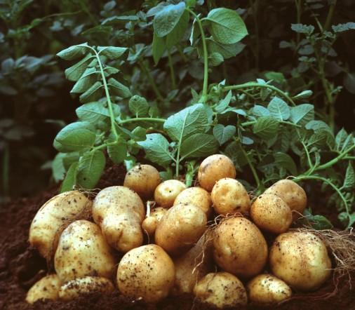 Potato Cultivation.