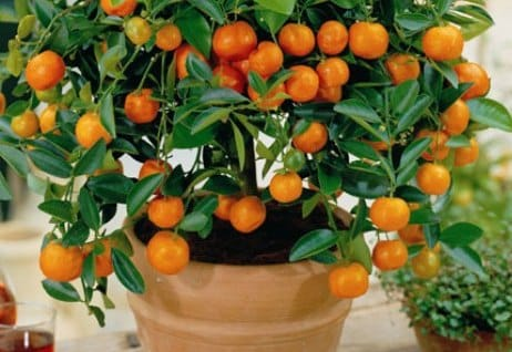 Growing Oranges in Pot