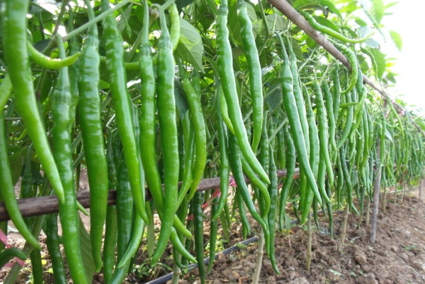 how to grow mirchi plant at home