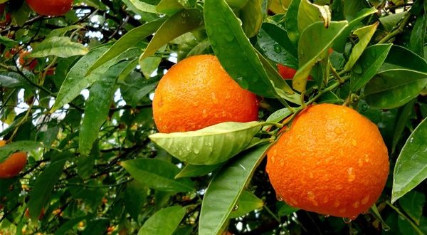 Orange Cultivation.