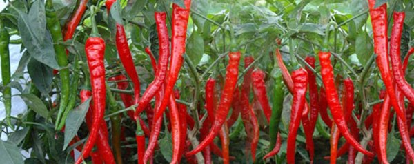 Red Chilli Growing for Seed.