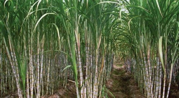 sugarcane cultivation information guide asia farming