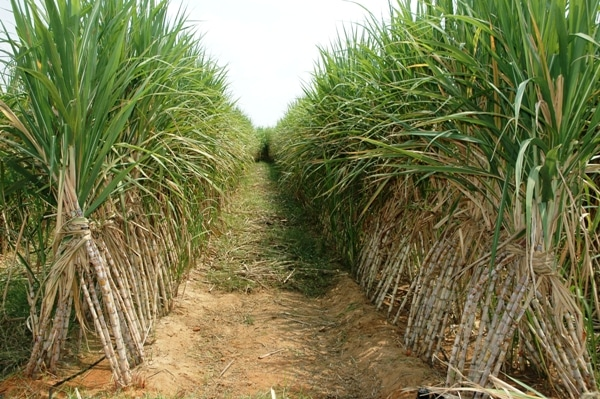 Sugarcane Cultivation.