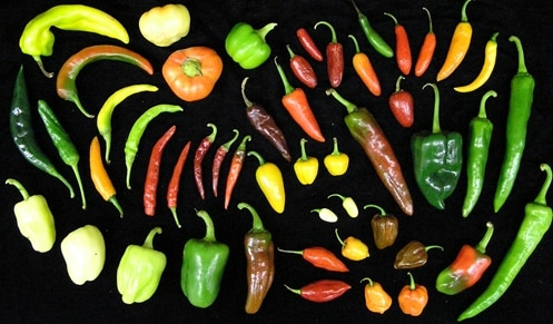 Different Varieties of Chillies.