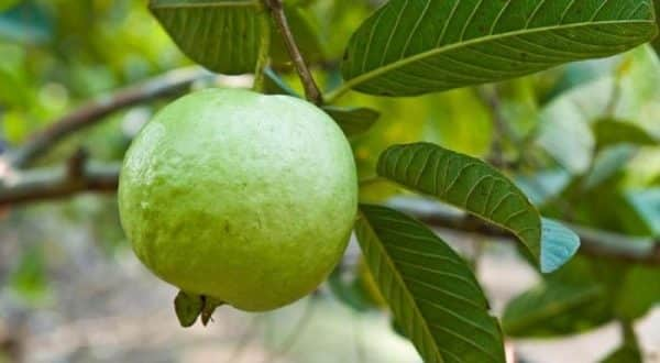 Guava Cultivation.