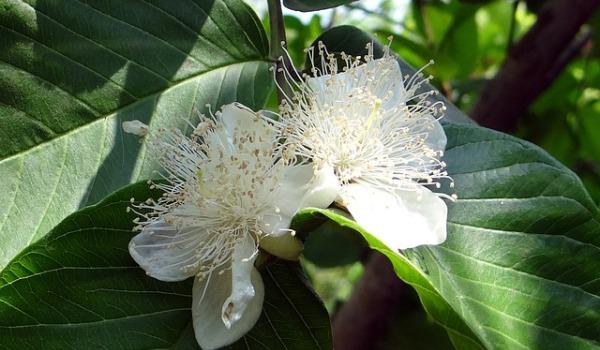 Guava Flowering.