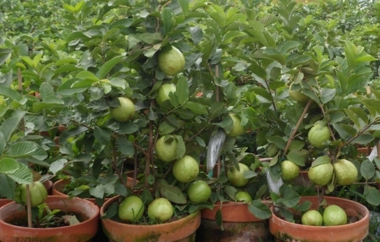 Guava Growing in Pots.
