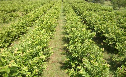 Guava Cultivation (Ultra High Density).