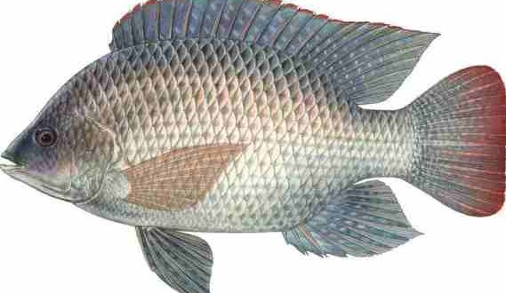 Tilapia: Extra-Lean White Meat with Mild Flavor and Moderate Texture