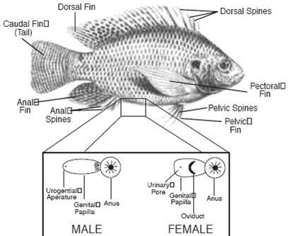 Tilapia fish farming information guide for Is tilapia fish good for you
