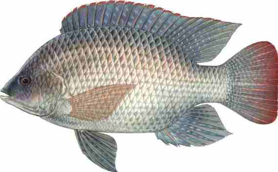 Tilapia fish farming information guide asia farming for Is tilapia a real fish