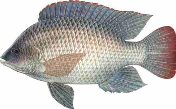 Tilapia fish farming information guide asia farming for Tilapia fish farming
