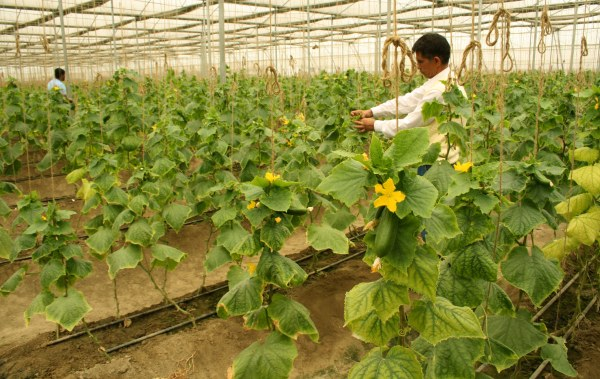 Using Drip Irrigation in Greenhouse -Polyhouse