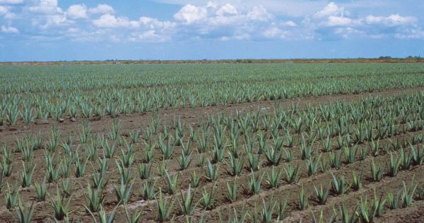 aloe vera cultivation information guide asia farming. Black Bedroom Furniture Sets. Home Design Ideas