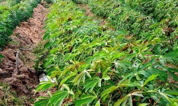 Cassava Farming.