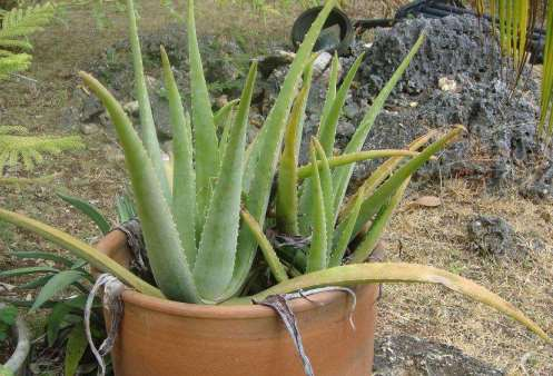Growing Aloe Vera in Pot.