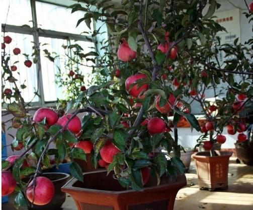 Growing Bonsai Apple Tree.