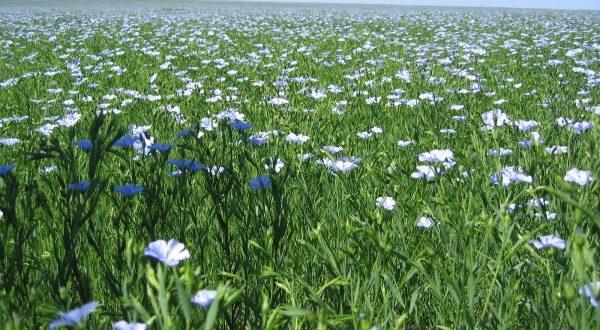 Flaxseed Farming.