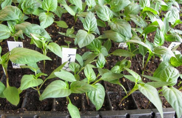 Capsicum Seedlings.