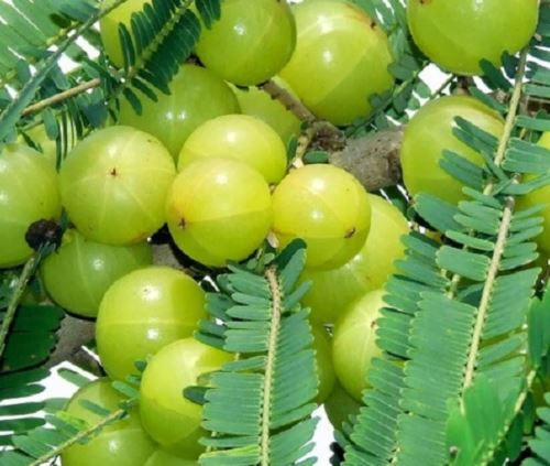 Gooseberry Cultivation.