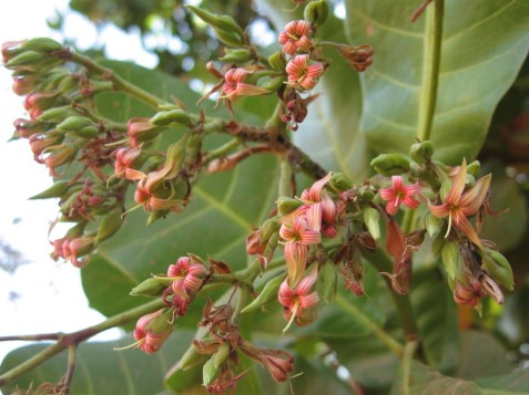 Cashew Flowering.