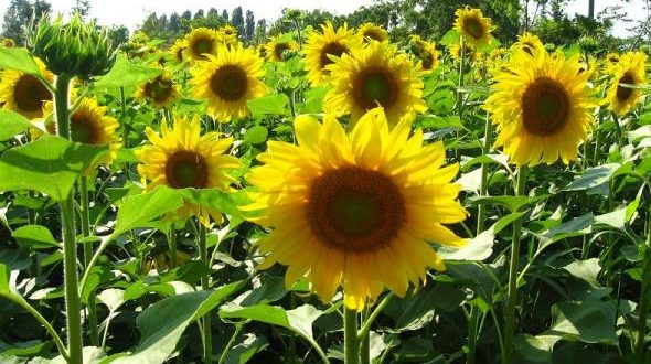 Sunflower Cultivation.