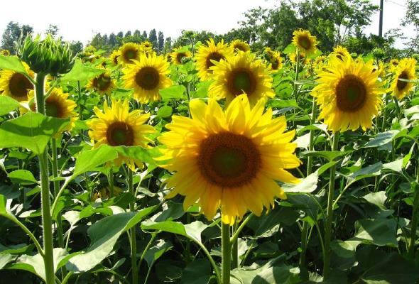 Sunflower Cultivation.