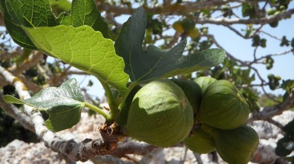 Fig Cultivation.