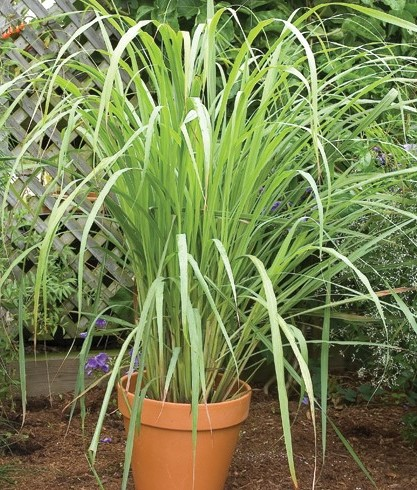 Growing Lemongrass in Pots.