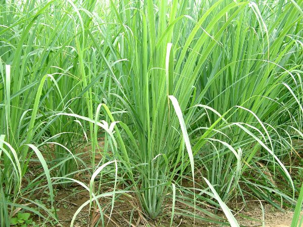 Lemongrass Cultivation.