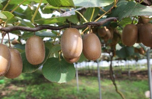 Kiwi Cultivation.