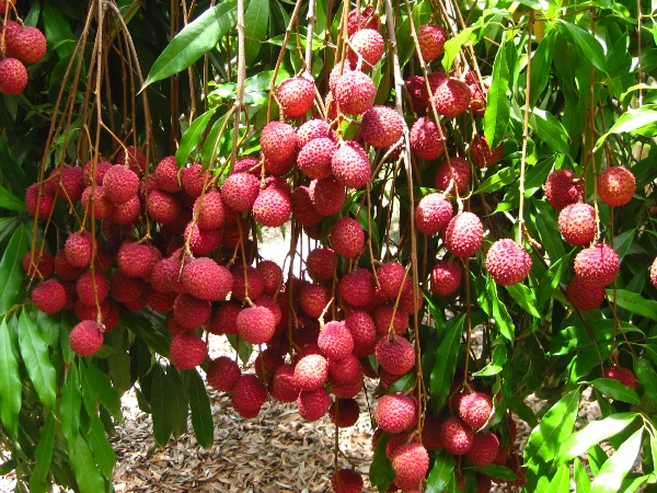 Lychee Fruit Cultivation.