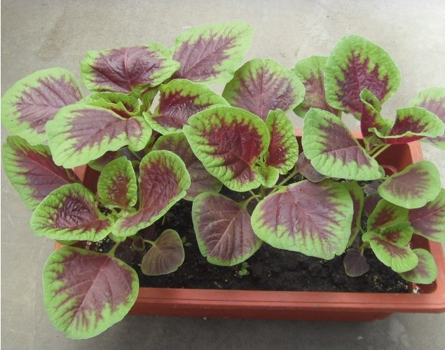 Growing Amaranthus in Pot.
