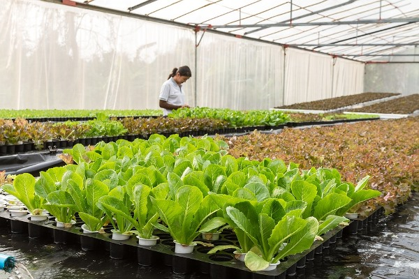 Growing Lettuce Hydroponically (Soil-less growing).