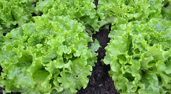 Growing Lettuce in Backyard.
