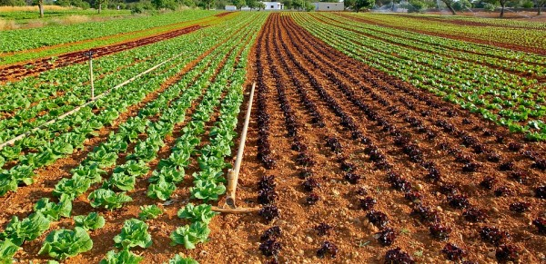 Growing Lettuce with Sprinkler System.