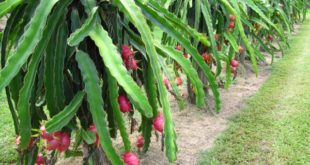 Dragon Fruit Farming.