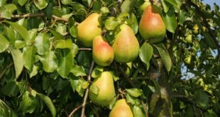 Pear Fruit Growing.