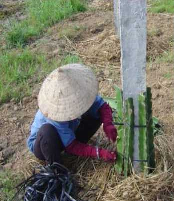 Planting Dragon Fruit Cuttings around the Pole.