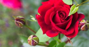 Rose Growing Tips.