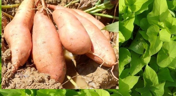 Sweet Potato Cultivation.