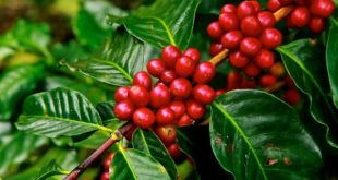 Coffee Cultivation.