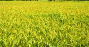 Wheat Cultivation