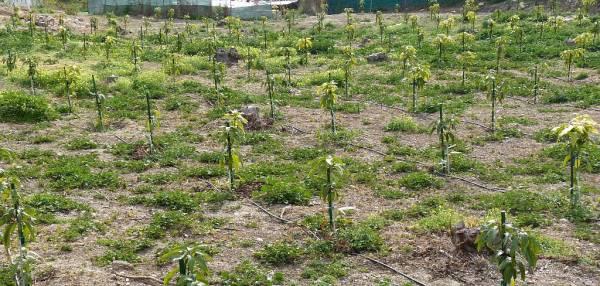 Avocado Plantation with Drip Irrigation.