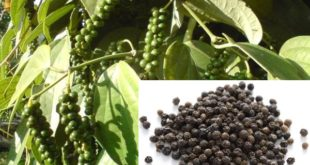 Black Pepper Cultivation.