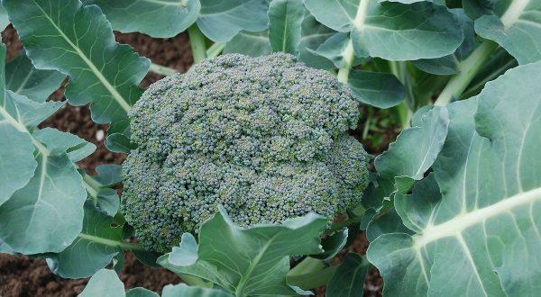 Broccoli Cultivation.