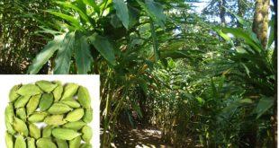 Cardamom Cultivation.